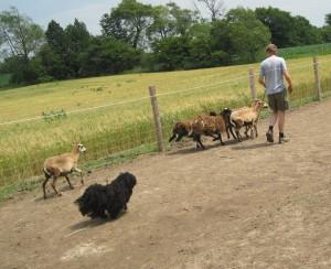 Puli, Bojtár, sheep, herding